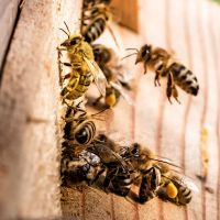 Oregon Insect and Rodent Control offers all kinds of pest control services including bee extermination