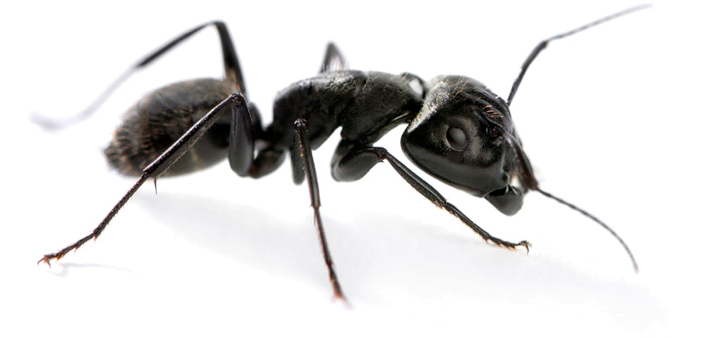Oregon Insect and Rodent Control offers all kinds of pest control services including carpenter ant extermination