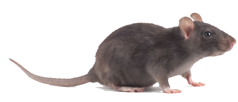 Oregon Insect and Rodent Control offers all kinds of pest control services including rat extermination