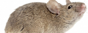 Oregon Insect and Rodent Control offers residential Oregon pest control services for mice and more