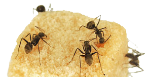 Oregon Insect and Rodent Control offers all kinds of pest control services including sugar ant extermination