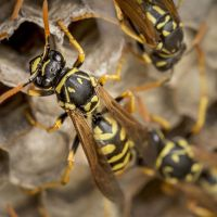 wasp and yellowjacket pest control