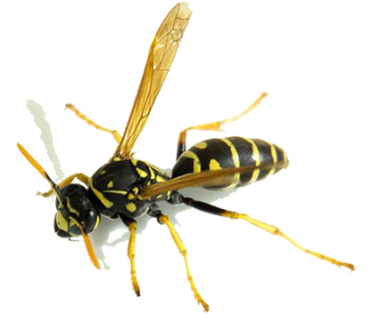 Oregon Insect and Rodent Control offers all kinds of pest control services including wasp extermination